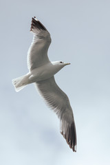 Seagull in flight against the sky with clouds