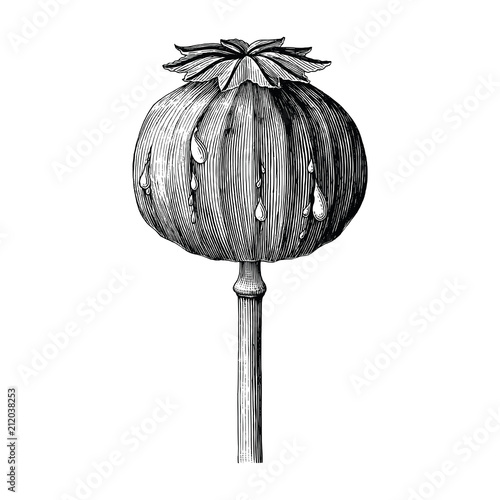 Poppy hand drawing vintage clip art isolated on white background - 212038253