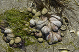Crépidule, Crepidula fornicata