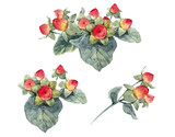 Watercolor hypericum berries - 212041464