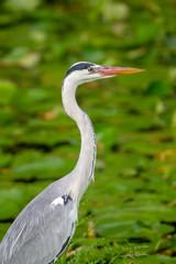Graureiher (Ardea cinerea) an einem kleinen Teich auf Praslin, Seychellen.