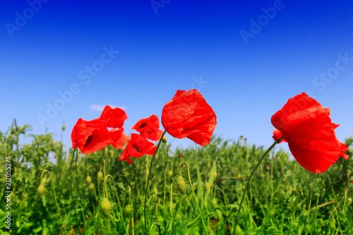 Fototapeta Red poppy field