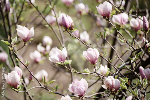 Fototapeta Blossoming of pink magnolia flowers in spring time, floral background