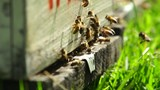Honey Bees entering hive in slow motion - 212056451