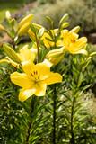 beautiful lily flower in garden