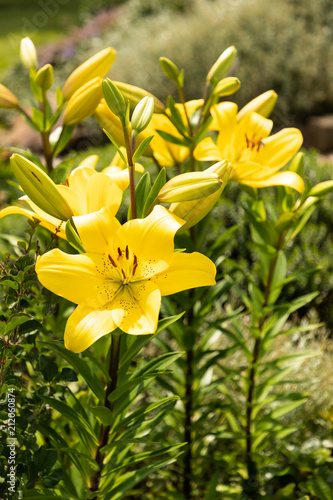 Fototapeta beautiful lily flower in garden