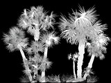 silhouette of palm trees large group on black