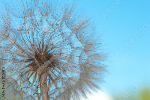 The macro photo of a deflowered flower of a dandelion against the background of the blue sky with dew drops