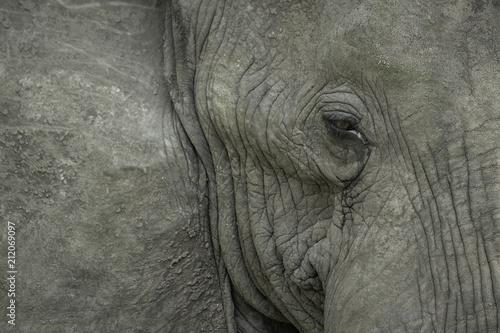 Fototapeta Close up portrait of an elephant's face, focusing on the eye