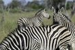 Two oxpeckers sitting on a zebra's back with two zebra in the background