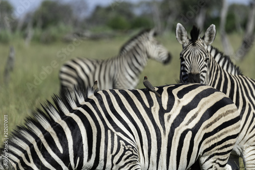Fototapeta Two oxpeckers sitting on a zebra's back with two zebra in the background