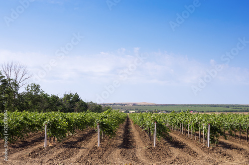 Aluminium Wijngaard Grape plantation against the blue sky. Russia, Krasnodar Territory, Taman Peninsula