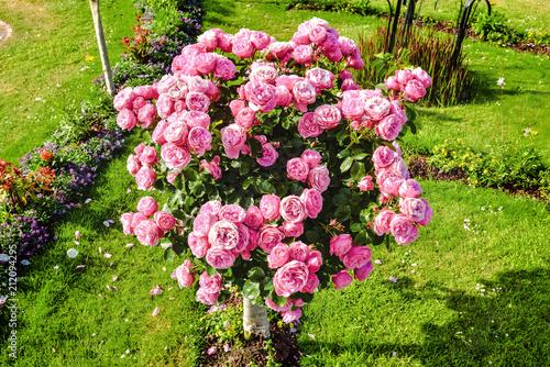 rosier arbuste en fleur