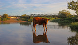 Cattle in the Pond