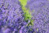lavender plants in nature closeup