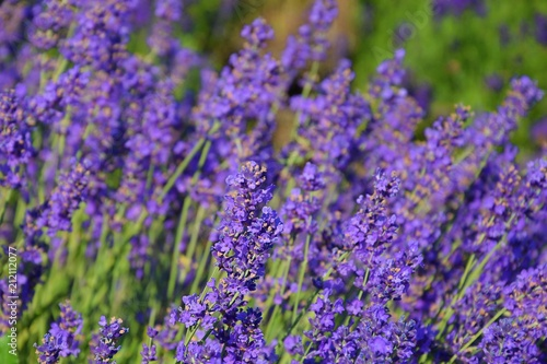 lavender plants in nature closeup