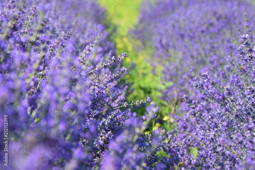 Plexiglas Lavendel lavender plants in nature closeup