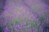 Fresh purple lavender  - 212114209