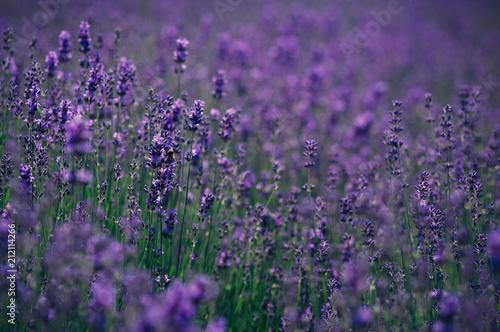 Fresh purple lavender  - 212114266