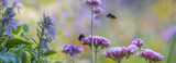 bumblebees on flowers in the garden close up - panorama - 212121615