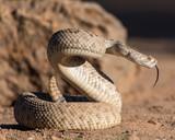 Rattlesnake Tongue - 212123477