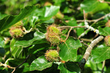 close up of a beech tree with female flowers - 212129058