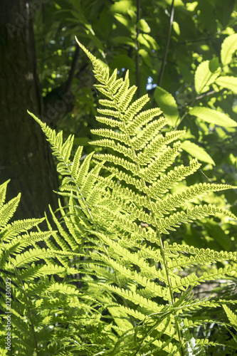 the Fern leaf in the backlight in the botanical garden of Warsaw
