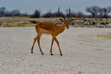 Sorte d'antilope  - 212130868