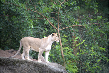 Weiblicher Löwe auf Fels