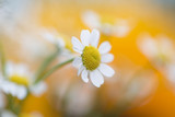 Sunny blurry blossom daisy flowers background. Selective focus used. - 212138825