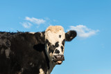 black and white Hereford cattle calf with blue sky and copy space