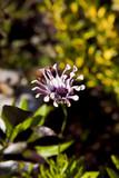 close up osteospermum flower