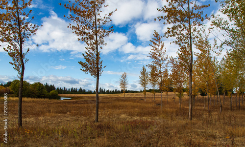 Fototapeta Birch trees with clouds and grass in autumn