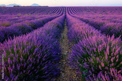 Champ de lavande en fleurs, lever de soleil. Plateau de Valensole, Provence, France. © Marina
