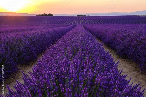 Fotobehang Violet Champ de lavande en fleurs, coucher de soleil. Plateau de Valensole, Provence, France.
