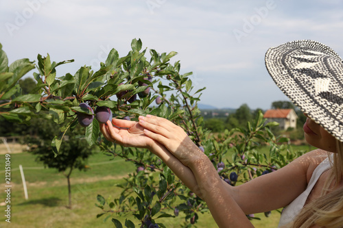 Young beautiful Woman harvesting plums in garden. Healthy lifestyle, fresh organic fruits concept - 212151049
