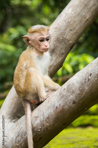 Fotobehang Aap Young Toque macaque monkey from Sri Lanka sitting on the tree.