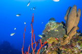 A coral reef in tropical water is a habitat to an abundance of marine life. The colorful underwater structure was shot in the Caribbean sea  around Grand Cayman - 212158650