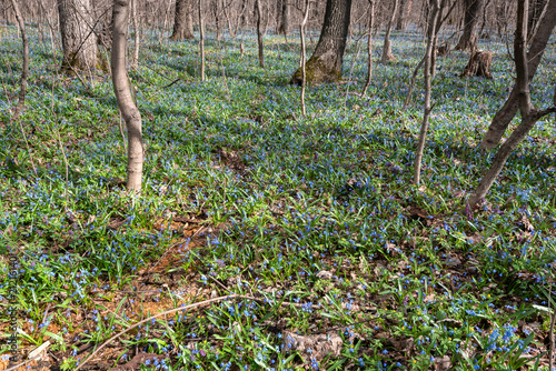 Fototapeta As a blue carpet growing snowdrops. Snowdrops ... the first spring flowers, the first messengers of spring!