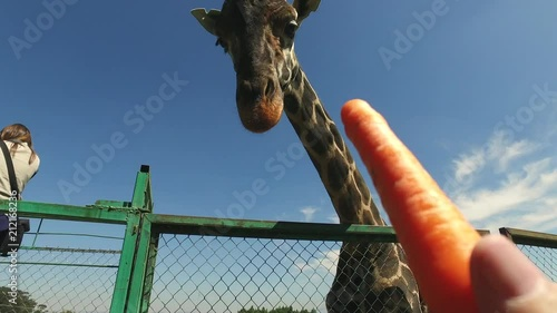 Sticker Feeding a Giraffe.