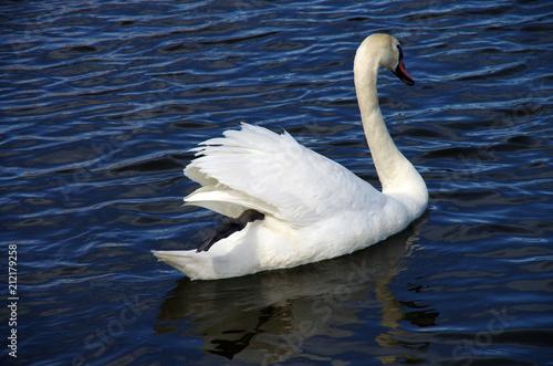 Fotobehang Zwaan White swan floating in the water