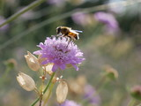 A Hover Fly, or Drone Fly, (Eristalis tenax) feeding on a Scabiosa Flower while sunlight filters through its body - 212184801