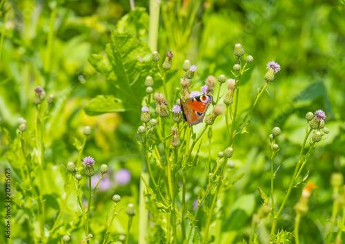 Butterfly on a flower in sunlight in summer - 212185673