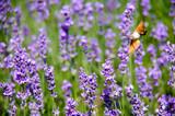 Macroglossum stellatarum feeding from lavender in Crimea - 212186434