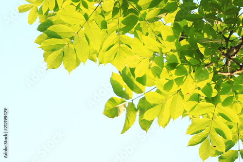 Green leaves on tree, bright blue sky in background - 212199429