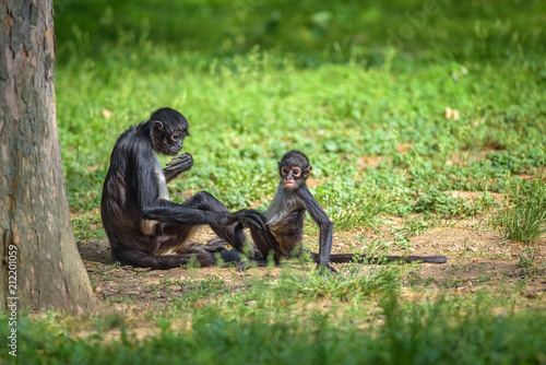 Aluminium Aap Geoffroy's Spider Monkey and its baby