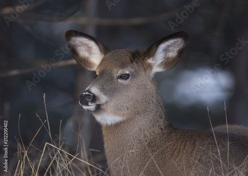 Fotobehang Hert A white-tailed deer gazes out to an open field in autumn