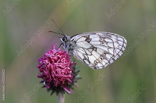 Papillon gazé sur fleur de chardon - 212210622