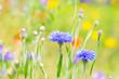 Leinwanddruck Bild - Kornblumen auf der Wiese