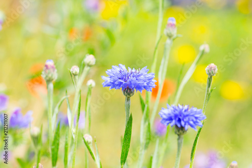 Leinwanddruck Bild Kornblumen auf der Wiese